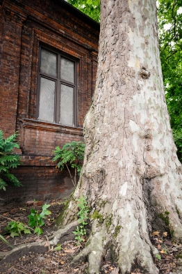 Plane tree outside Charlton's Summer House